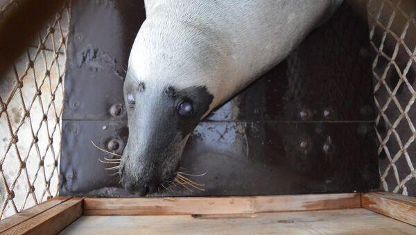 Тюлень Маэстро из Тайгана опять поменял свое место жительства