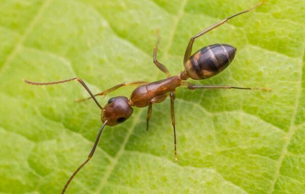 Аргентинский муравей