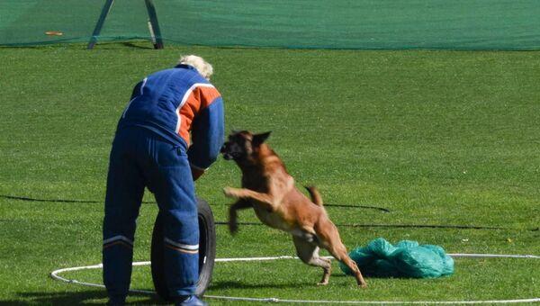 Собака защищает охранный периметр, но по команде наставника тут же прекращает атаку