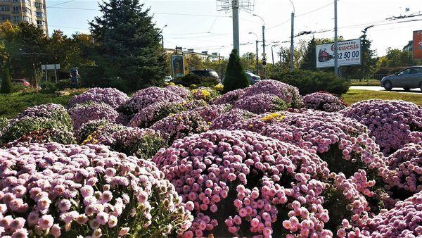 В Симферополе на транспортных кольцах высаживают осенние цветы
