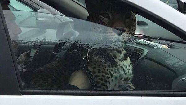 Леопард в одном из такси Казани