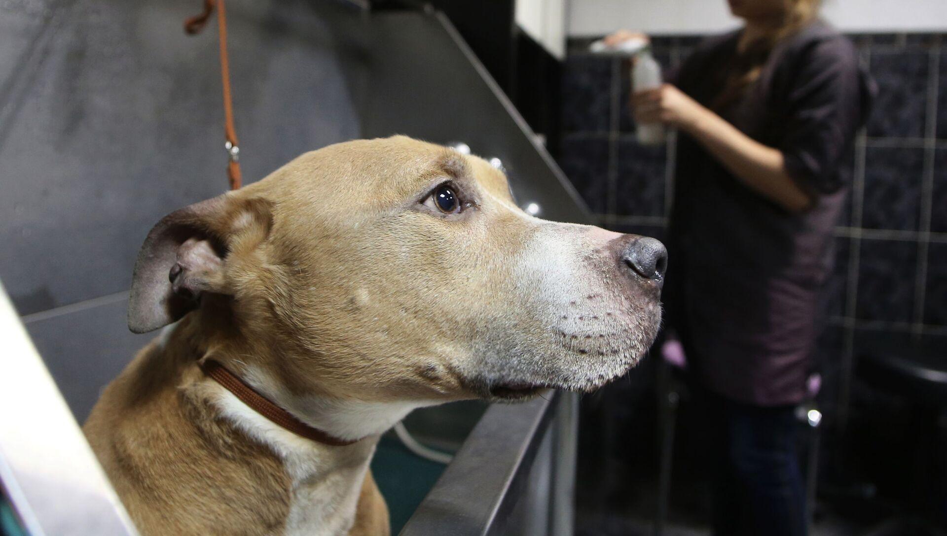 Собака породы стаффордширский терьер на процедуре груминга в салоне по стрижке собак и кошек в Москве - РИА Новости, 1920, 07.11.2020
