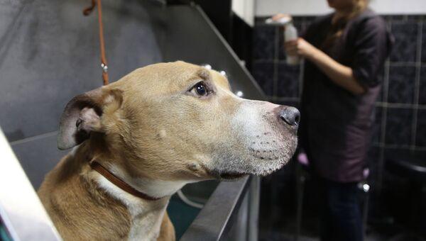 Собака породы стаффордширский терьер на процедуре груминга в салоне по стрижке собак и кошек в Москве