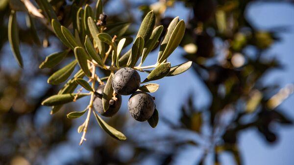 Крымские оливки