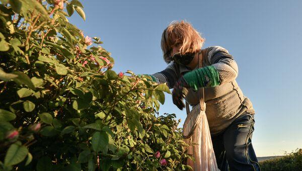 Сбор лепестков эфиромасличной розы в селе Тургеневка Бахчисарайского района. Из собранных лепестков делают эфирное розовое масло и розовую воду, которые применяются в парфюмерии. К 2025 году в Министерстве сельского хозяйства Республики Крым планируют довести площадь садов эфиромасличной розы до 500-600 гектаров