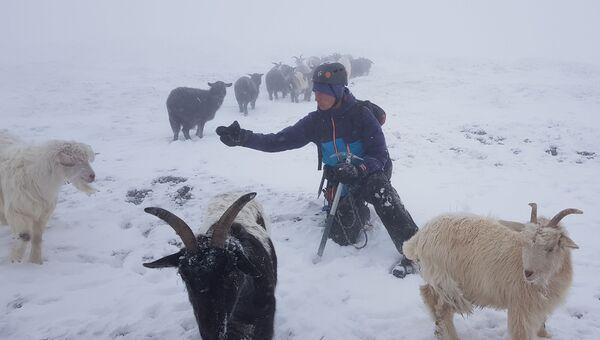 Стадо коз на пути у крымских альпинистов: умилительное видео
