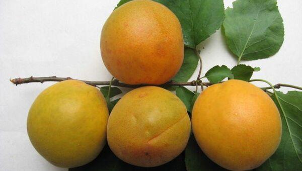 Персик сорта Магистр, выведенного в Никитском ботаническом саду