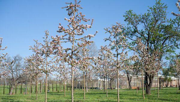 Цветущие деревья в парке Учкуевка в Севастополе