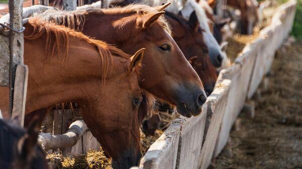 Лошадей на конеферме подкармливают силосом
