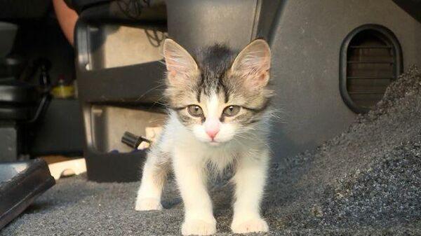 Пушистый попутчик: дальнобойщик приютил котенка в кабине фургона
