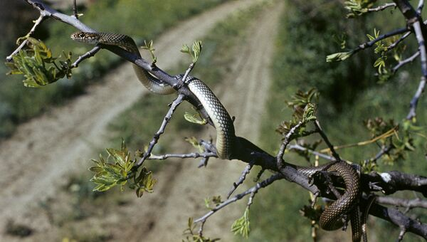 Карадагский природный заповедник. Полоз желтобрюхий