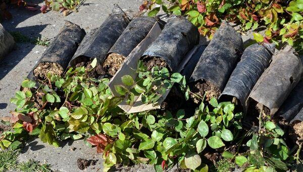 В Ялте высадили 1100 кустов роз и 100 кустов можжевельника