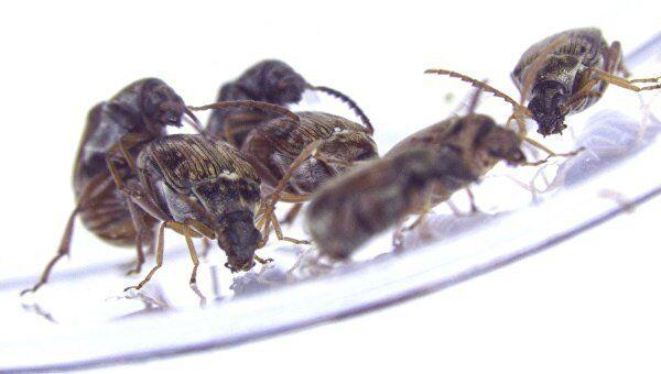 Гомосексуальные отношения у жуков