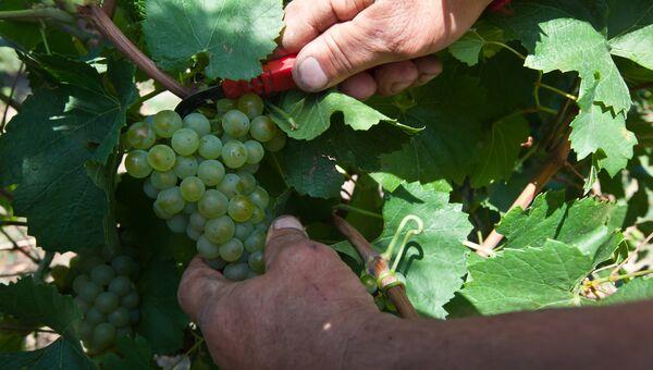Сбор урожая винограда. Архивное фото