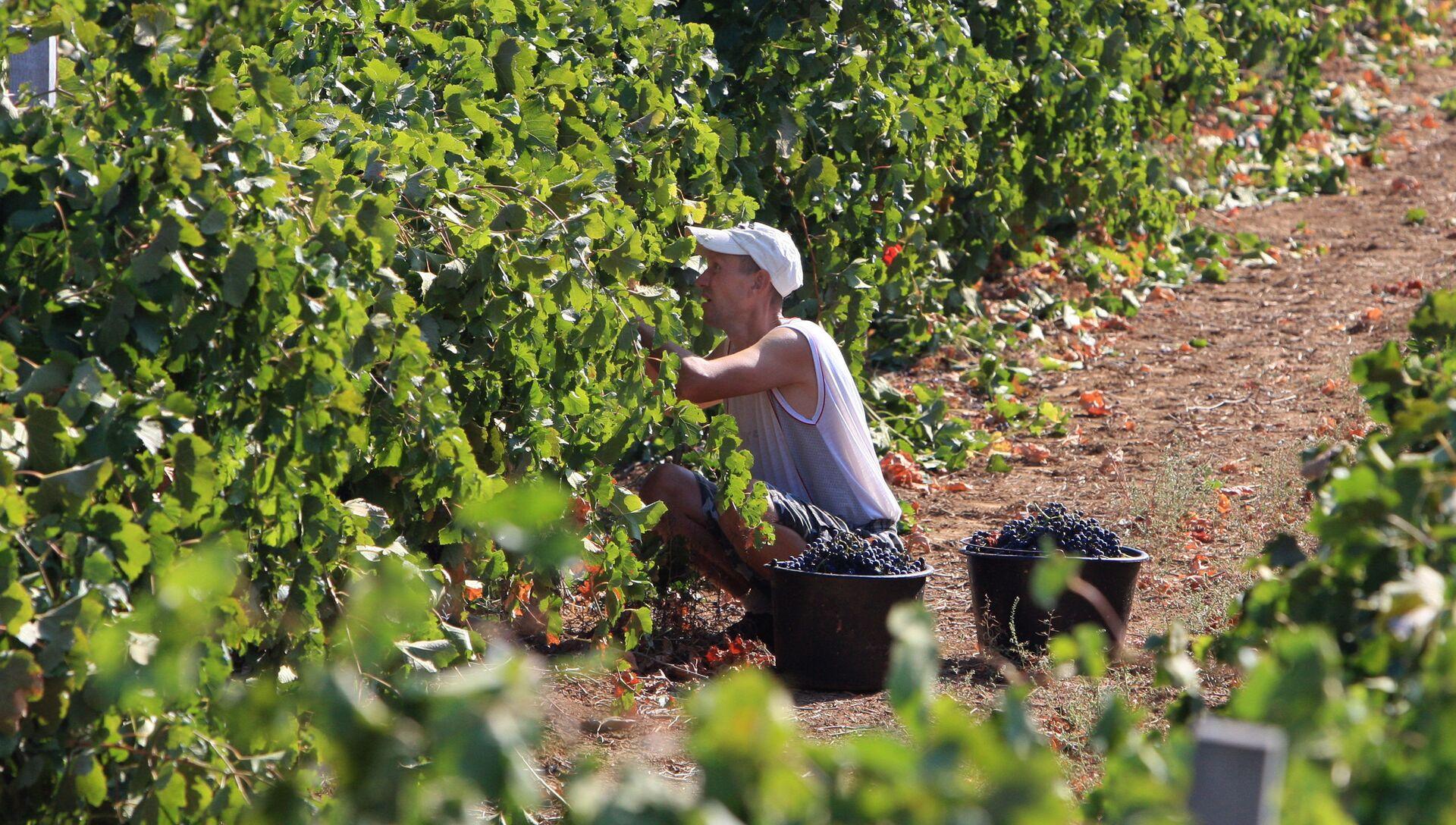 Сбор урожая винограда в Крыму - РИА Новости, 1920, 10.02.2021