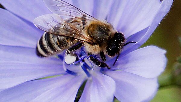 Пчела опыляет василек