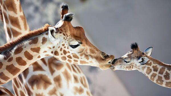 Детеныш жирафа в зоопарке Ла-Флеш во Франции