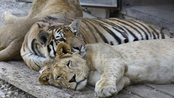 Молодые тигры и львы в сафари-парке Тайган