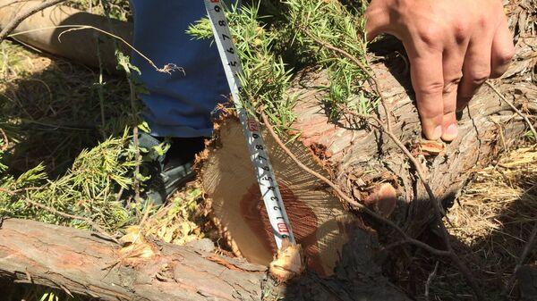 В Гаспре вырубили 17 деревьев краснокнижного можжевельника