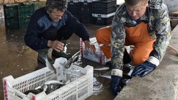 Рыбаки сортируют пойманную кефаль-лобана по ящикам
