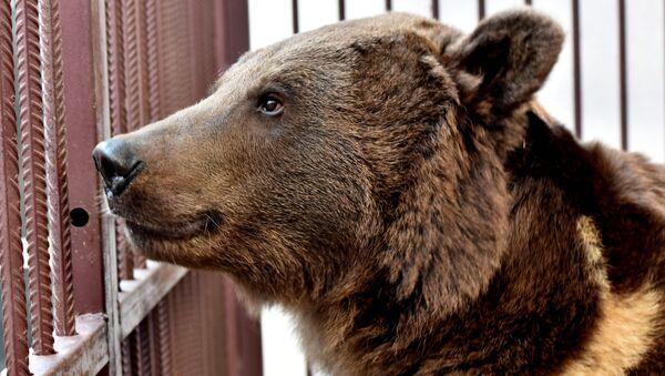 Медведь Грозный, подаренный главой Чечни Рамзаном Кадыровым главе РК Сергею Аксенову
