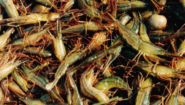 Добыча креветки рыбаками