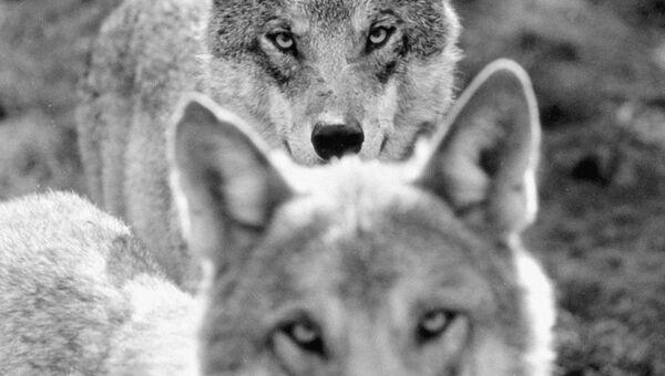 Волки в лесу. Архивное фото