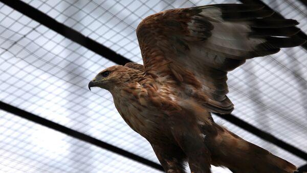 Курганник в парке птиц Воробьи в Калужской области