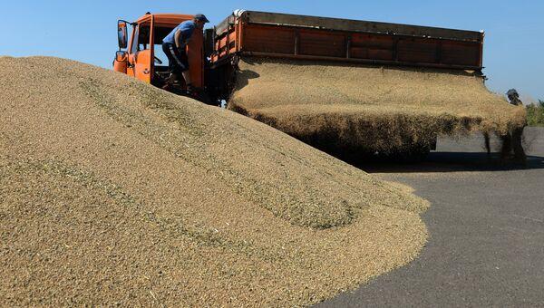 Выгрузка озимой пшеницы на зерновом току хозяйства ЗАО Политотдельское в Тогучинском районе Новосибирской области
