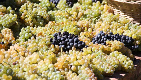 Виноград завода шампанских вин Новый свет