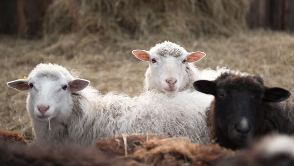 Овцы на домашнем подворье