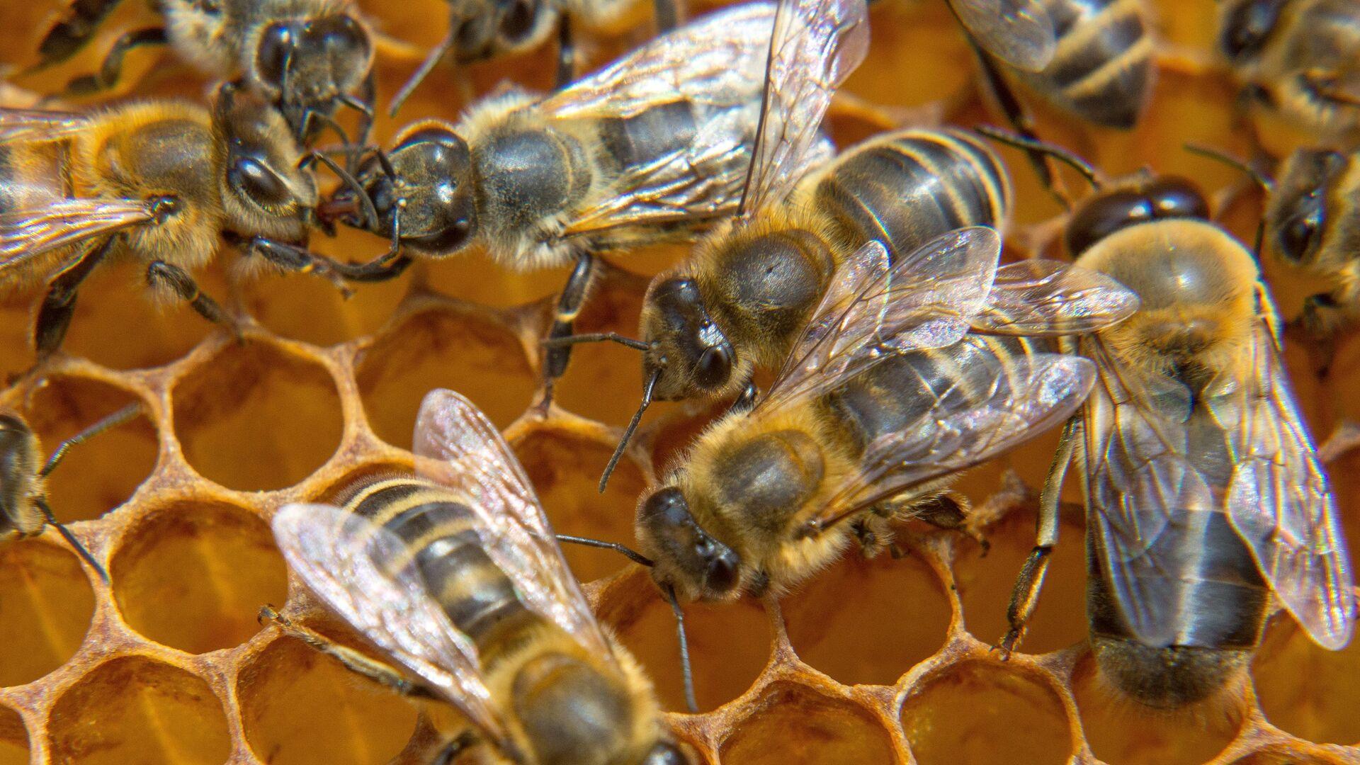 Пчелы на пасеке. Архивное фото - РИА Новости, 1920, 02.09.2020