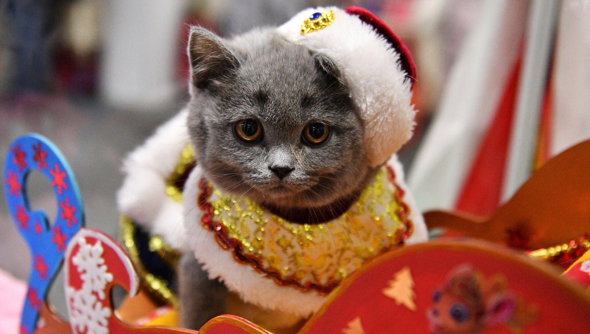 Котенок породы британская в костюме Деда Мороза на выставке КоШарики Шоу в Москве - РИА Новости, 1920, 05.12.2020