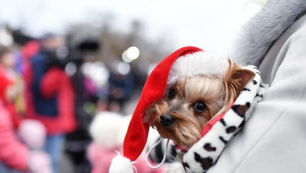 Собака-участница конкурса Санта Клаус отдыхает – на арене Дед Мороз в Евпатории