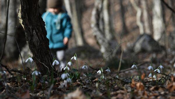 Подснежники в лесу в районе села Соколиное в Крыму