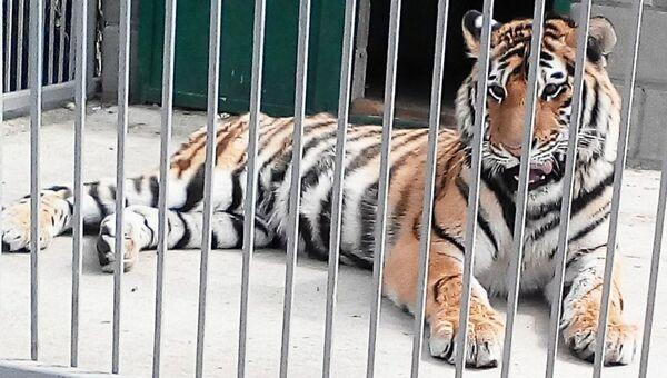 Тигр в симферопольском зооуголке. Архивное фото