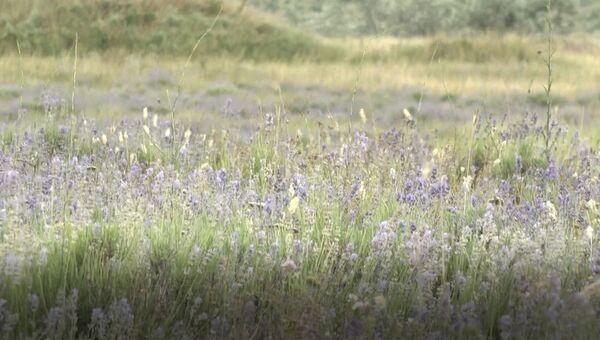 Видео цветущих полей лаванды в Крыму