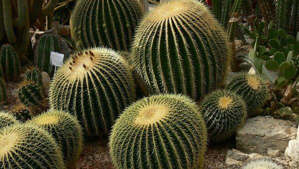 Цветение кактусов и суккулентов в НБС