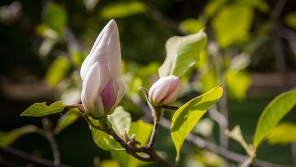 Цветущая магнолия в Ботаническом саду Крымского федерального университета