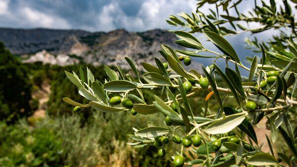 Оливковая роща в Крыму (Форос)