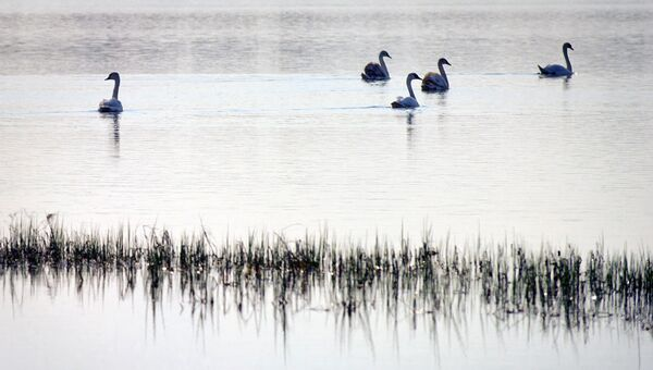 Лебеди на озере в селе Береговое под Феодосией.