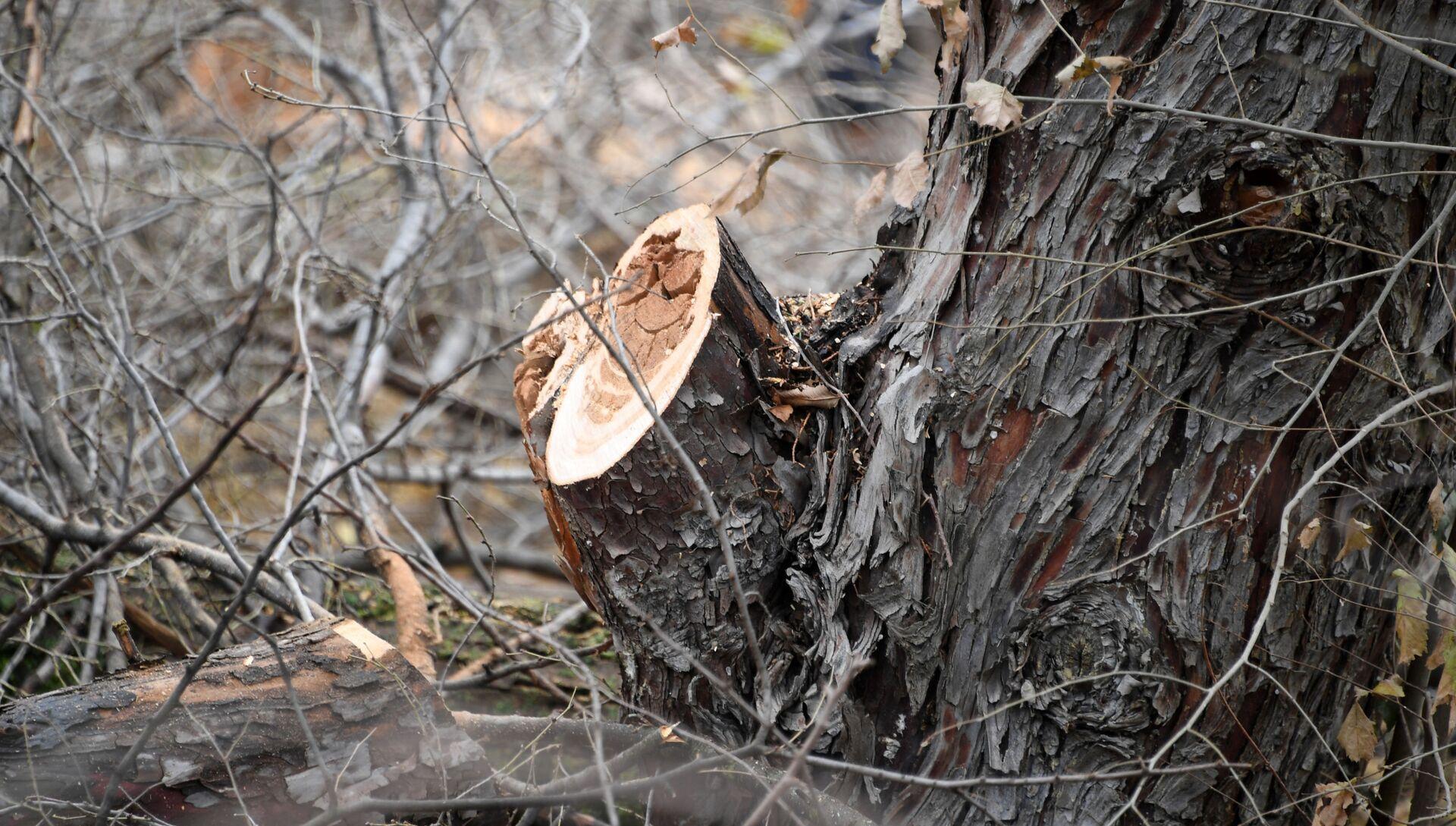 Вырубка деревьев. Архивное фото - РИА Новости, 1920, 11.11.2020