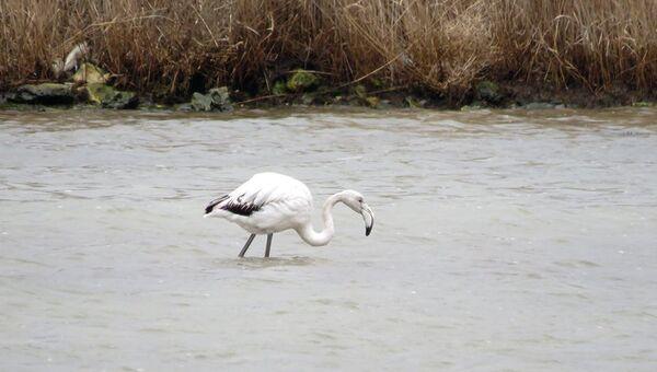 Фламинго в Севастополе