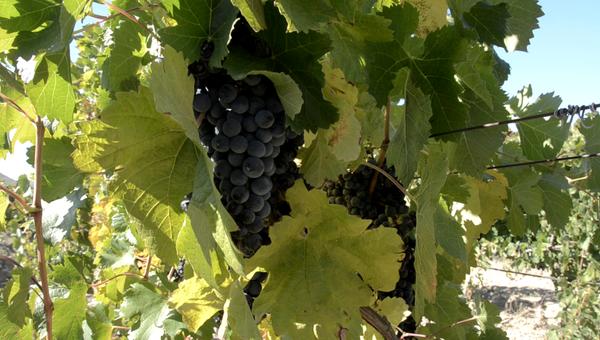 Виноградники завода марочных вин Коктебель