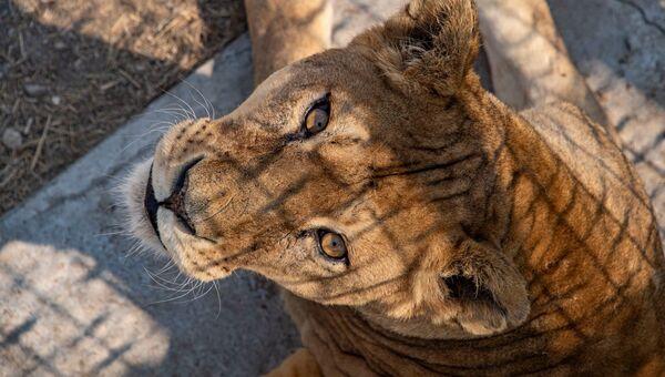 Тайган парк львов