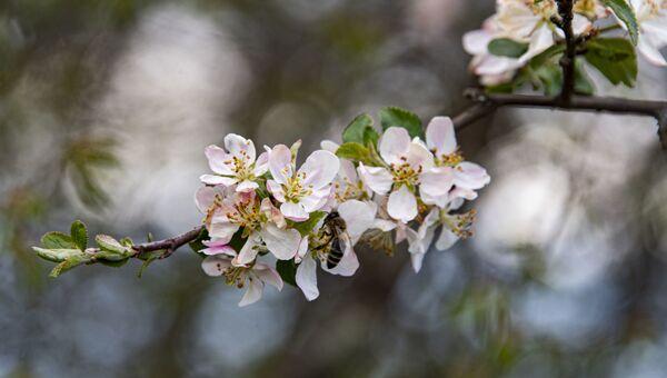 Весна цветущая яблоня