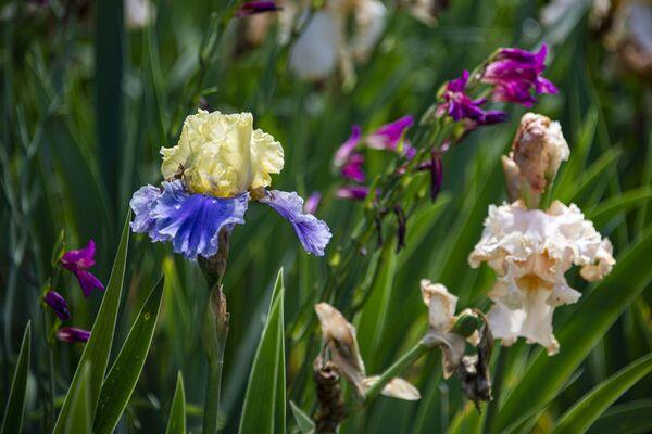 Ирисы Ботанический сад КФУ