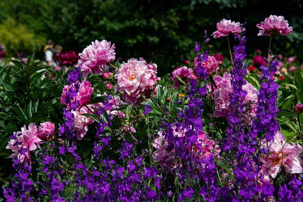 Пионы Ботанический сад КФУ