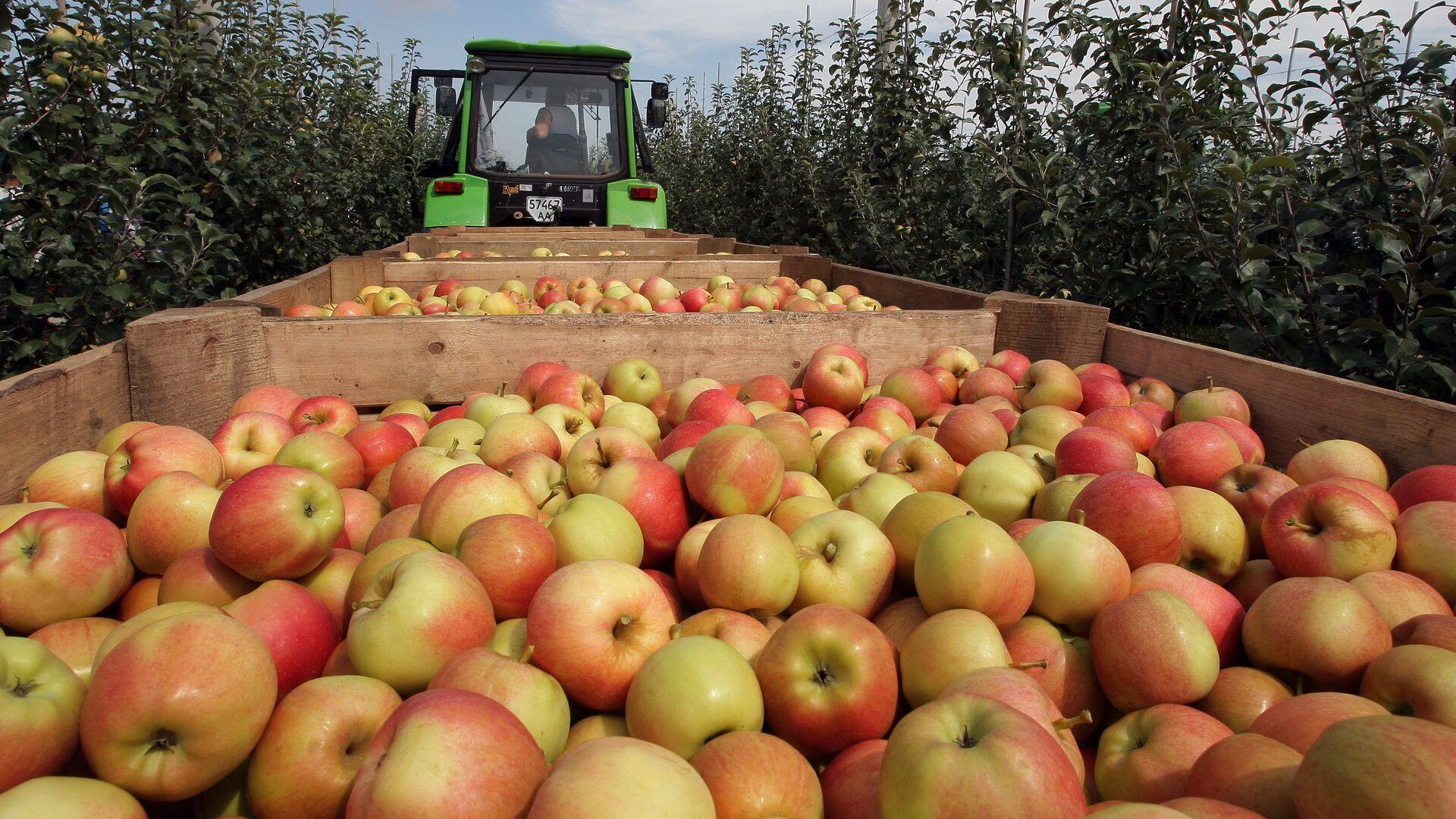 Уборка урожая яблок в Симферополе - РИА Новости, 1920, 19.08.2021