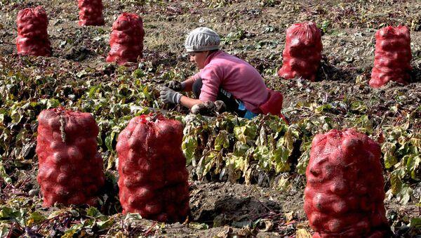 Сбор овощей в фермерском хозяйстве